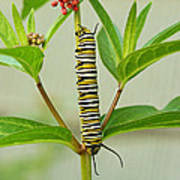 Monarch Caterpillar And Milkweed Print by Steve Augustin