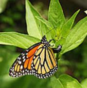 Monarch Egg Time Print by Steve Augustin