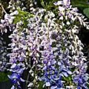 Nancys Wisteria 3 Db Print by Rich Franco