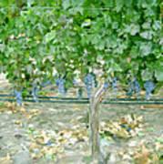 Napa Vineyard Print by Paul Tagliamonte