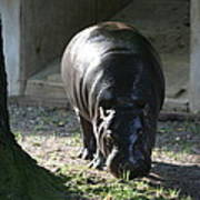 National Zoo - Hippopotamus - 12121 Print by DC Photographer
