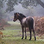 New Forest Pony Print by Dave Pressland FLPA