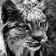 North American Lynx In The Wild. Print by Bob Orsillo