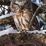 Northern Saw-whet Owl.. Print by Nina Stavlund