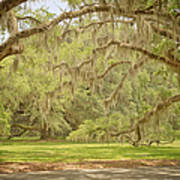 Oak Trees Draped With Spanish Moss Print by Kim Hojnacki