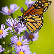 Old Butterfly On Aster Flower Print by Richard J Thompson