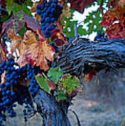Old Vine Print by Kathy Yates