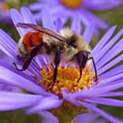Orange-banded Bee Print by Rona Black