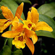 Orange Spotted Lip Cattleya Orchid Print by Rudy Umans