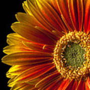 Orange Yellow Mum Close Up Print by Garry Gay