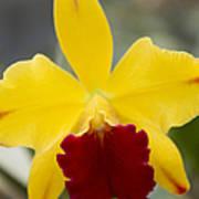 Orchid Beauty - Cattleya - Pot Little Toshie Mini Flares Mericlone Hawaii Print by Sharon Mau
