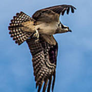 Osprey Flying Away Print by Robert Bales