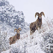 Pair Of Winter Rams Print by Mike  Dawson