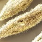 Paramecium Sp. Protozoa (sem) Print by Science Photo Library