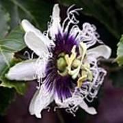 Pasionfruit Flower Print by Jeffrey Lee
