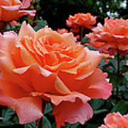 Peach Roses Print by Rona Black