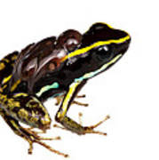 Phyllobates Lugubris With Tadpoles Print by JP Lawrence