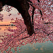 Pink Cherry Blossom Sunrise Print by Metro DC Photography
