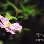 Pink Clematis In Sunlight Print by Jane Rix