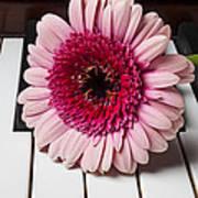 Pink Mum On Piano Keys Print by Garry Gay