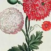 Poppy Print by Basilius Besler