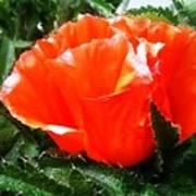 Poppy Flower Print by Heather L Wright
