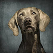 Portrait Of A Weimaraner Dog Print by Wolf Shadow  Photography