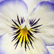 Pretty Pansy Close Up Print by Natalie Kinnear