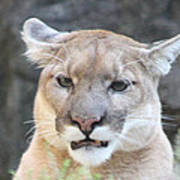 Puma Head Shot Print by John Telfer