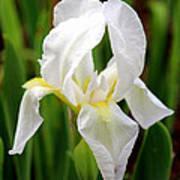 Purely White Iris Print by Kathy  White