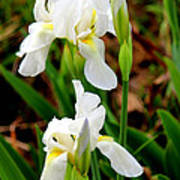 Purity In Pairs Print by Kathy  White