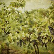 Purple Grapes On The Vine Print by Jeff Swanson