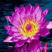 Purple Lily On The Water Print by Nick Zelinsky