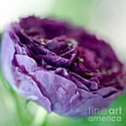Purple Rose Print by Frank Tschakert