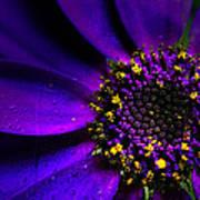 Purple Senetti In Macro Print by Rosanna Zavanaiu
