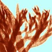 Red Algae, Light Micrograph Print by Science Photo Library