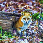 Red Fox At Home Print by John Haldane