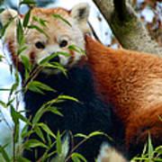 Red Panda Print by Trever Miller