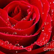 Red Rose Print by Elena Elisseeva