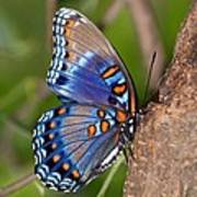 Red Spotted Purple Butterfly Print by Sandy Keeton