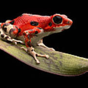 Red Strawberry Poison Dart Frog Print by Dirk Ercken