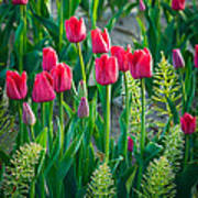 Red Tulips In Skagit Valley Print by Inge Johnsson