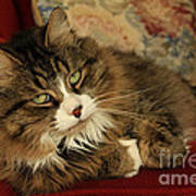 Rescue Cat Living In The Lap Of Luxury Print by Inspired Nature Photography Fine Art Photography