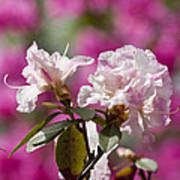 Rhododendron Print by Steven Ralser