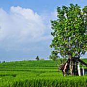 Rice Fields Print by Nila Newsom