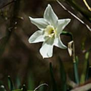 Roadside White Narcissus Print by Rebecca Sherman