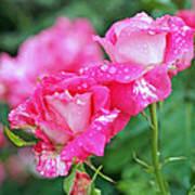 Rose Bonbons Print by Rona Black
