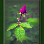 Rose Bud Print by Brian Wallace
