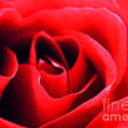 Rose Red Print by Darren Fisher