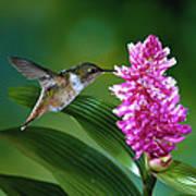Scintillant Hummingbird Selasphorus Print by Michael and Patricia Fogden